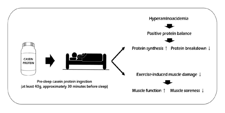 Casein-Protein-Sleep-Diagram.png