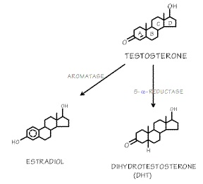 Testosterone-Metabolism.jpg