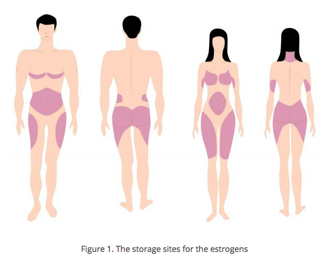 estrogen related fat storage sites